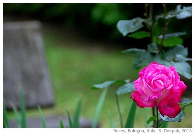 Pink roses, Bologna, Italy - images by Sunil Deepak, 2013
