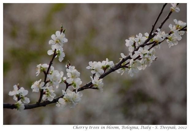 Cherry flowers, Bologna, Italy - S. Deepak, 2012