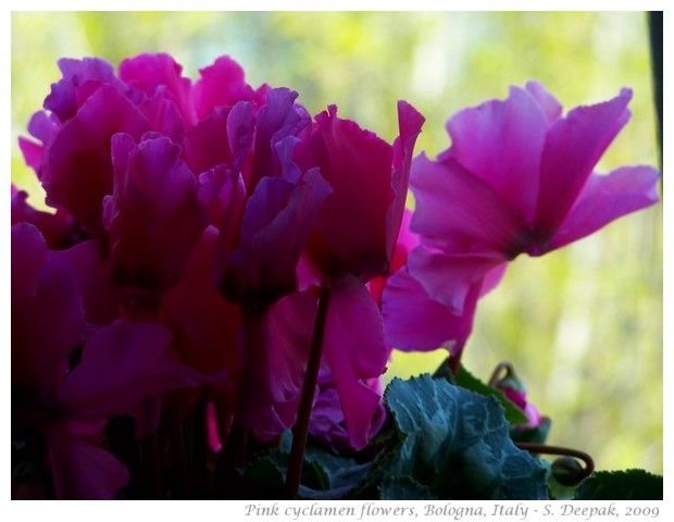 Pink cyclamen flowers, Bologna - S. Deepak, 2011
