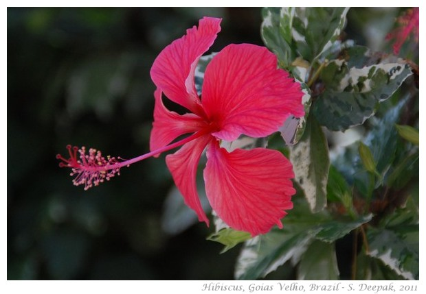 Hibiscus flowers in different colours - images by S. Deepak