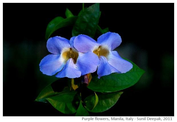 Purple flowers, Manila, Philippines - images by Sunil Deepak, 2011