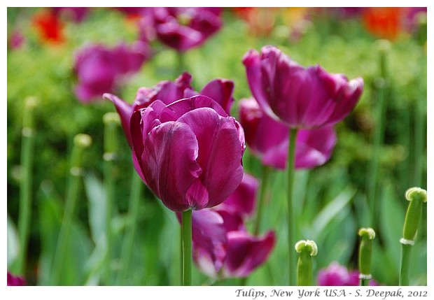 Purple & blood red tulips, New York