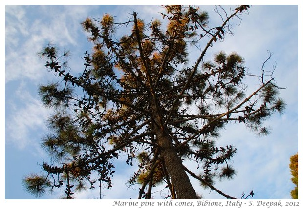 Cones on Marine Pine tree, Bibione, Italy - S. Deepak, 2012