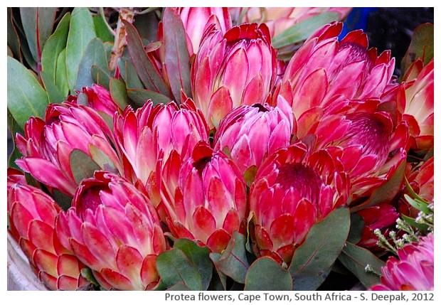 Pink protea, flower market, Cape Town, South Africa - S. Deepak, 2012