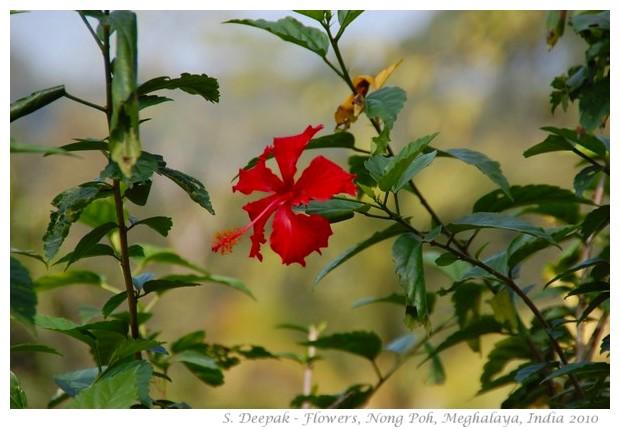 Flowers, Non Poh, Meghalaya, India