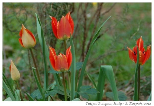 red tulip flowers, Bologna, Italy - S. Deepak, 2012