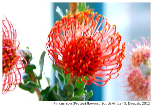 Pin cushion protea flowers, Kristenbosch, S. Africa - S. Deepak, 2012