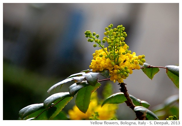 Yellow flowers, Bologna, Italy - S. Deepak, 2013