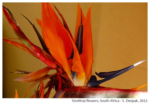 Strelitzia flowers, South Africa - S. Deepak, 2012