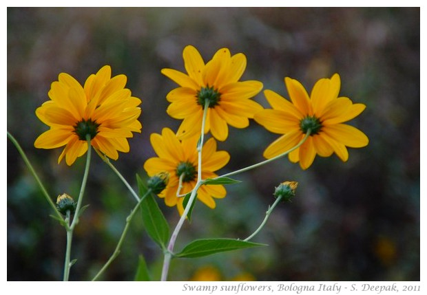 Swamp sunflowers, Bologna - S. Deepak, 2011