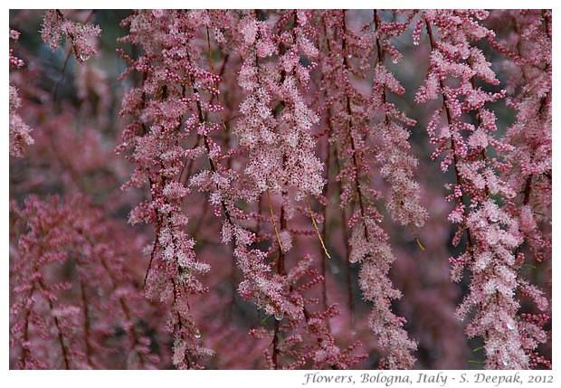 Pink flowers, Bologna, Italy - S. Deepak, 2012