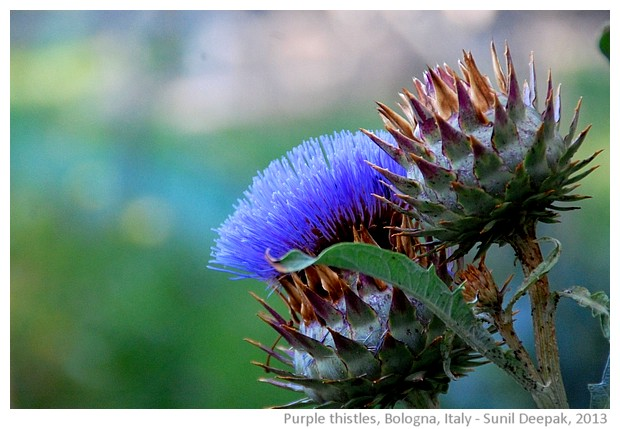 Purple thistle, Bologna, Italy - images by Sunil Deepak, 2013
