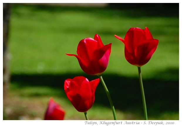 Red tulips, Klugenfurt - images by S. Deepak