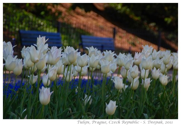 White tulips, Prague - images by S. Deepak