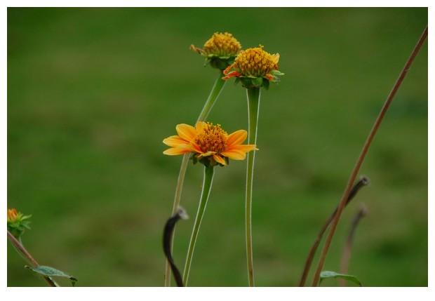 Daisy flowers, Karnataka India