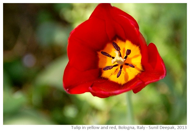Tulip in yellow and red - images by Sunil Deepak, 2013