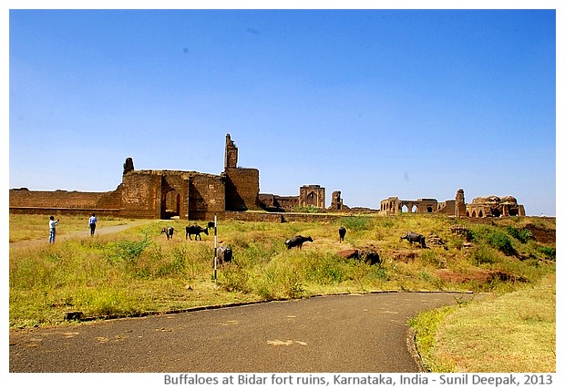 Buffaloes and Bidar fort ruins, Karnataka, India - images by Sunil Deepak, 2013