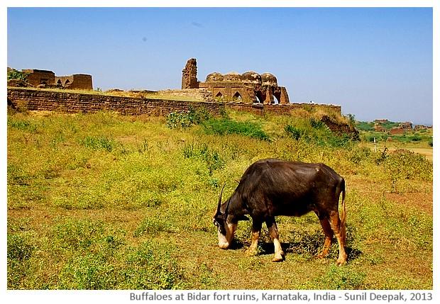 Buffaloes and Bidar fort ruins, Karnataka, India - images by Sunil Deepak, 2013