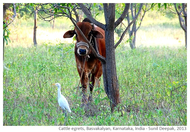 Cattle egrets, Basavakalyan, Karnataka, India - images by Sunil Deepak, 2013