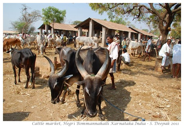 Cows at cattle market, Karnataka India - images by S. Deepak