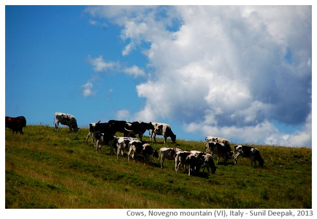 Cows, Novegno mountain, schio, Italy - images by Sun il Deepak