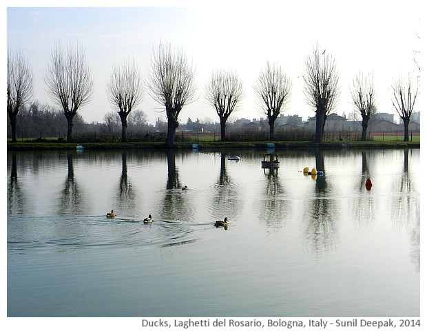 Ducks, lake and leafless trees, Bologna, Italy - images by Sunil Deepak, 2014