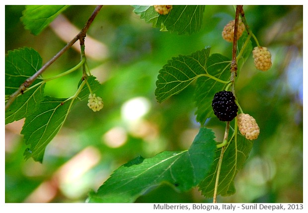 Mulberry, Bologna, Italy - images by Sunil Deepak, 2013