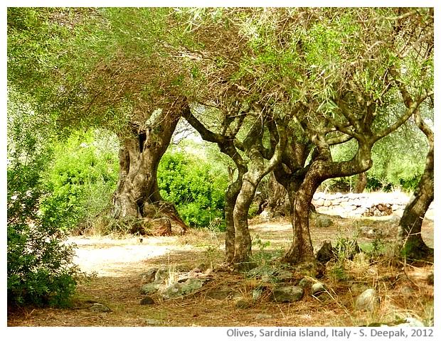 Olive trees, Sardinia, Italy - images by Sunil Deepak, 2012