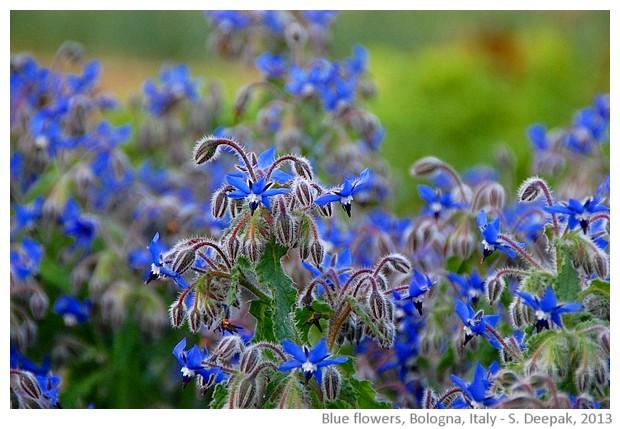 Blue flowers, Bologna, Italy - S. Deepak, 2013