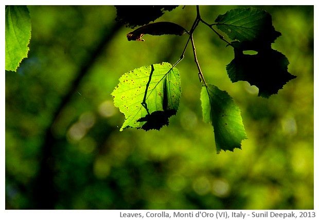 Forest leaves, Italy - images by Sunil Deepak, 2013