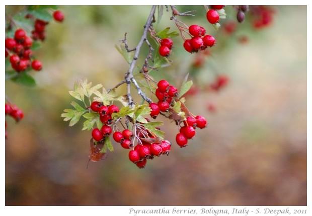 Pyracantha berries, Bologna, Italy - S. Deepak, 2011