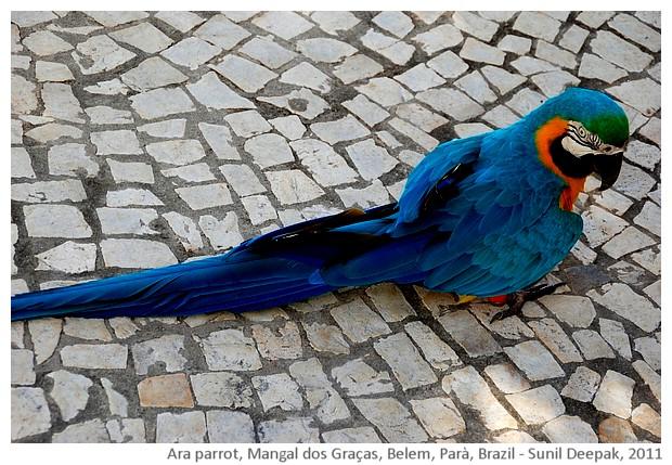Blue ara parrot, Belem, Parà, Brazil - images by Sunil Deepak, 2011