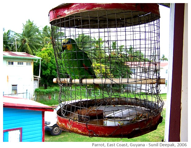 Parrot, East Coast, Guyana - images by Sunil Deepak, 2006
