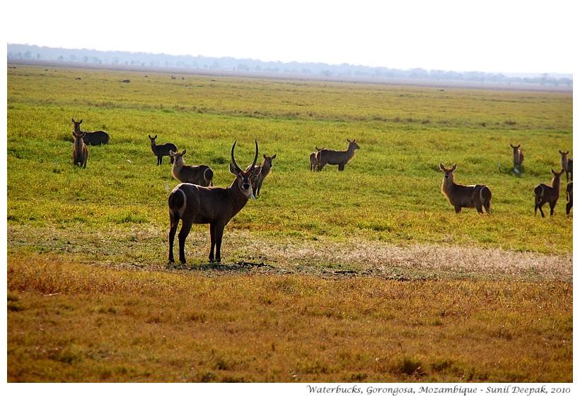 Waterbucks - antelopes of Gorongosa, Mozambique - Images by Sunil Deepak