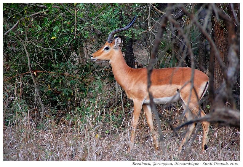 Reedbucks - antelopes of Gorongosa, Mozambique - Images by Sunil Deepak
