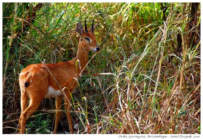 Oribi - antelopes of Gorongosa, Mozambique - Images by Sunil Deepak