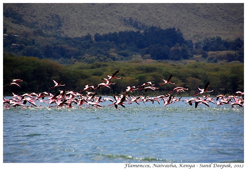 Flying pink flamingos, Naivasha, Kenya - Images by Sunil Deepak