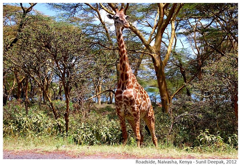 Giraffe, Naivasha, Kenya - Sunil Deepa, 2012