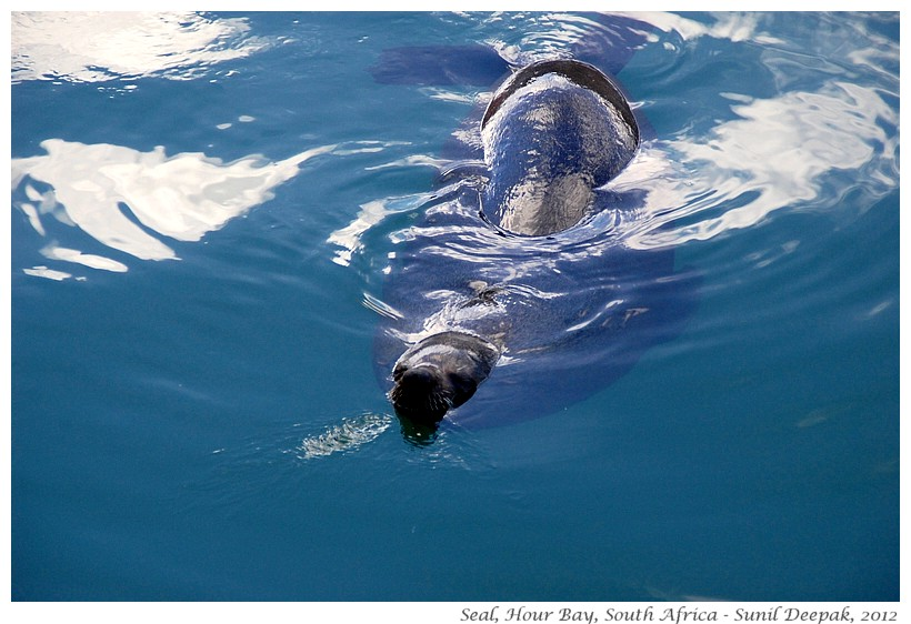Seals, Hour Bay, South Africa - Images by Sunil Deepak