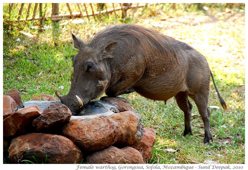 Pregnant warthog, Gorongosa national park, Sofola, Mozambique - Images by Sunil Deepak