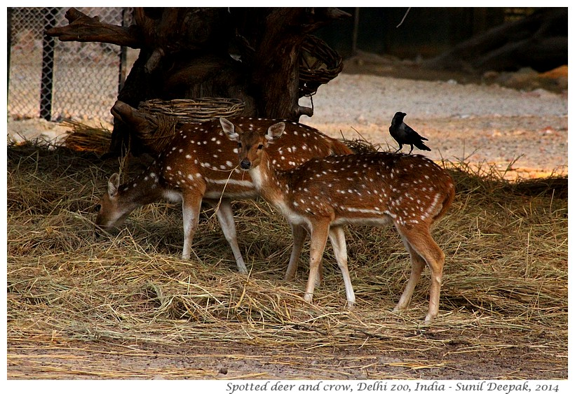 Symbiosis - Spotted deer & crows, Delhi zoo, India - Images by Sunil Deepak, 2014