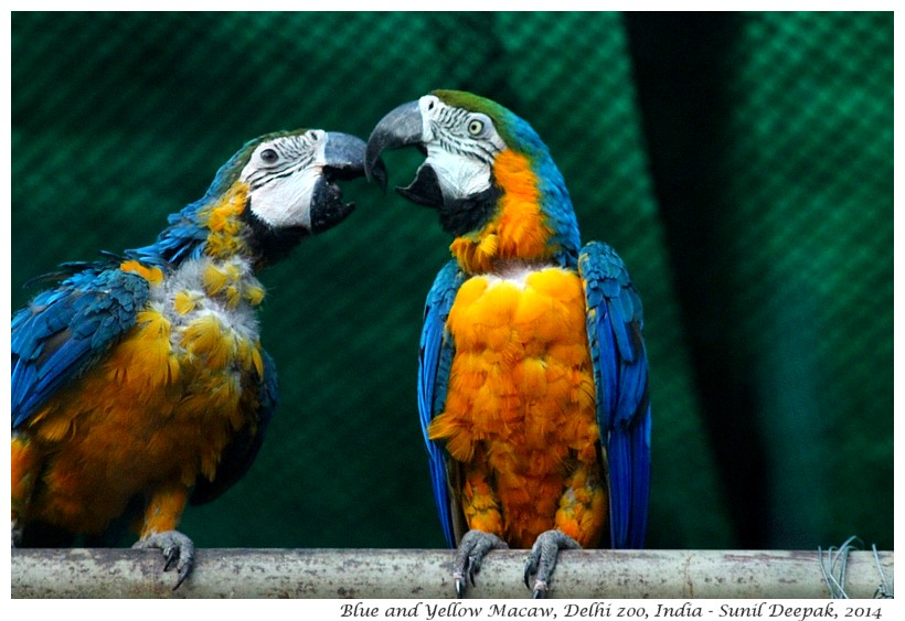 Blue and gold Ara, Delhi zoo, India - Images by Sunil Deepak