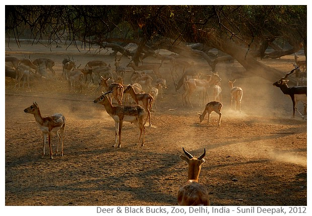 Evening in the zoo with deer and black bucks, Delhi, India - Images by Sunil Deepak, 2012