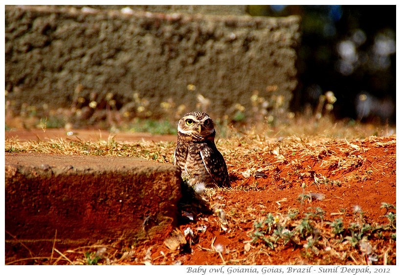 Baby owl, Goiania, Goias, Brazil - Images by Sunil Deepak