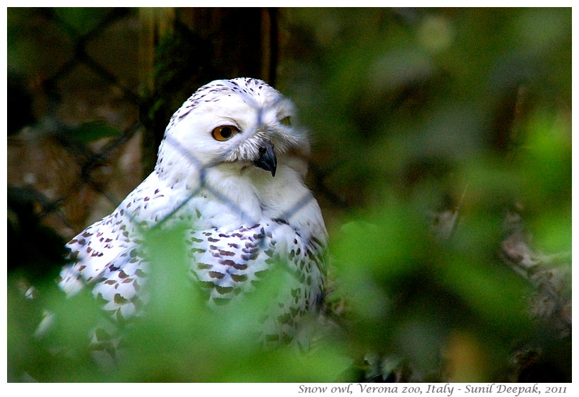 Snow owl, Verona zoo, Italy - Images by Sunil Deepak