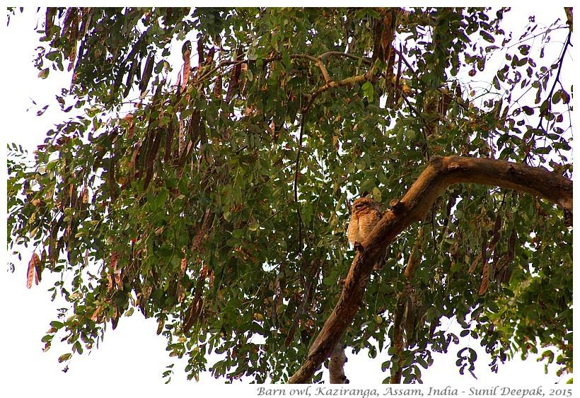 Barn owl, Kaziranga, Assam, India - Images by Sunil Deepak