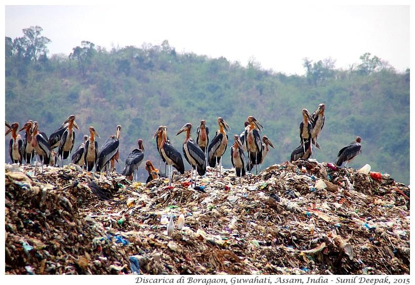 Cicogne, Discarica di Guwahati - Immagini di Sunil Deepak