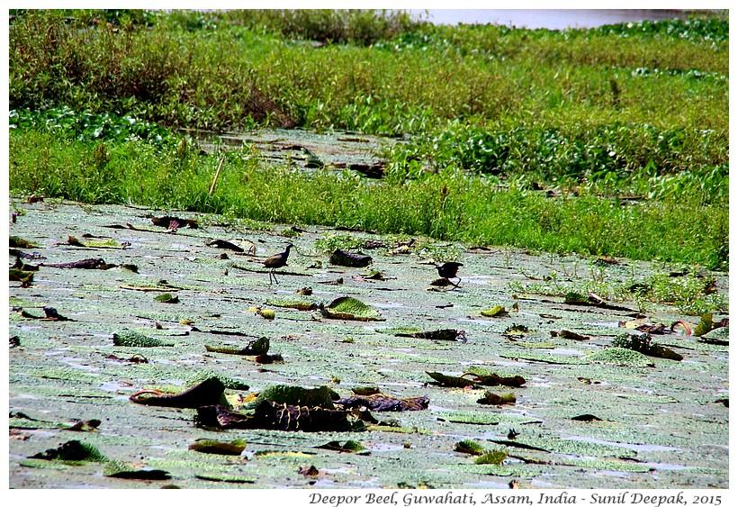 Deepor Beel, palude di Guwahati - Immagini di Sunil Deepak