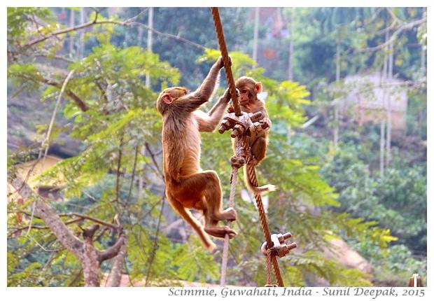 Scimmie, Guwahati, Assam, India - Immagini di Sunil Deepak