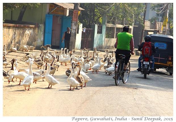 Papere sulla strada, Guwahati, Assam, India - Immagini di Sunil Deepak